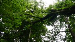 DSCN1425 (VerlynC) Tags: tree falling hickory