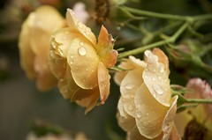 roses and raindrops (Pejasar) Tags: life flowers roses oklahoma nature beauty rain yellow droplets spring blossoms tulsa blooms waterdrops