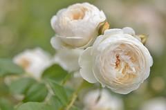 creamy white (snowshoe hare*) Tags: flowers rose botanicalgarden englishrose davidaustin  dsc0286 claireaustin