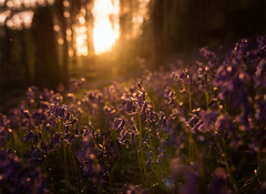 Bluebells at Sunset (Manadh) Tags: trees sunset sun forest landscape woods pentax derbyshire sheffield may sigma backlit bluebell k3 eckington 1835mm manadh