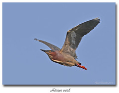 Hron vert / Green Heron 153A0423 (salmo52) Tags: birds danville oiseaux greenheron chassier hronvert tangburbank salmo52 alaincharette