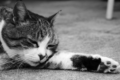 Sweet Dreams (ori.flammes) Tags: bw white black cat lovely