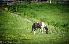 Horse (Kelly Lambert Photography) Tags: county horse photography nikon country north carolina backroads ashe farmlife