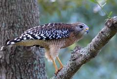 Red-Shouldered Hawk DSC_0024 (blthornburgh) Tags: bird nature tampa backyard florida hawk hunting birdofprey redshoulderedhawk beautifulbird thornburgh