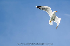 Flying seagull (Mauro Taraborelli) Tags: blue winter sky italy bird harbor flying europe afternoon outdoor seagull marche senigallia ancona nikond7000