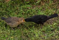 Nourrissage (d.maleca) Tags: turdusmerula commonblackbird merlenoir passriformes turdids