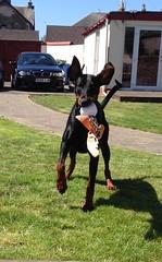 Gunner (Dls Bute) Tags: dog playing play doberman gunner dobie fearless guarddog dobermann icanfly