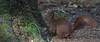 DSC08325rawcon_a (ger hadem) Tags: veluwe zwijn eekhoorn gerhadem