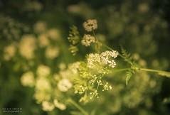 A Meadow Morning (Ollie Smith Photography) Tags: macro nature field closeup outdoors nikon cheshire bokeh meadow wildflower lightroom shallowdepthoffield runcorn halton sigma1750 d7200
