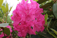 IMG_3030.JPG (robert.messinger) Tags: flowers rhodies