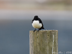 Willie Wagtail (Merrillie) Tags: nature birds animals fauna nikon waterfront bokeh wildlife australia photograph wagtail woywoy williewagtail d5500 nswcentralcoastnsw centralcoastnsw
