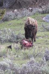 20160515_LaMarValley_1434-1 BisonCarcassAndMourner (Martine Yen) Tags: bison lamarvalley bisoncarcass