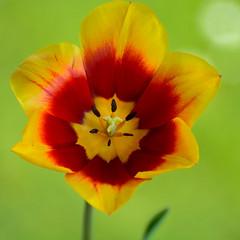Tulpe Rot und Wei (berndtolksdorf1) Tags: red flower rot yellow natur hell pflanze gelb bloom blume tulpen weis bltenblatt frhblher gartenblumen