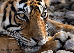 TIG00941GB_1 (giles.breton) Tags: india tiger tigers endangered ranthambhore panthera threatened andyrouse ranthambhorenationalpark pantheratigristigris royalbengaltiger dickysingh
