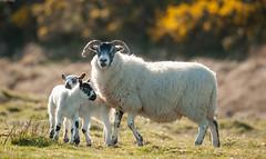 Familty ties (Alan Habbick Photography.) Tags: sheep lambs ayr ayrshire springlambs scottishnature outdoorscotland