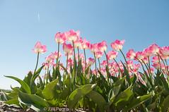 20160508-_DSC0853.jpg (BlonTT) Tags: polder bollen bloem tulp