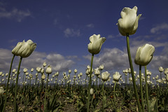 Tulips, Morecambe Promenade (ianandbarbara.bonnell@btinternet.com) Tags: flowers floral tulips wideangle flowerbed northwestengland