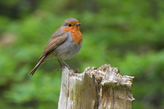 Robin (Glenn Pye) Tags: bird nature robin birds nikon wildlife redrobin d7200 nikond7200