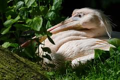Pelican (greenzowie) Tags: bird zoo edinburgh pelican edinburghzoo 2016 photographyworkshop greenzowie