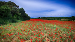Coquelicots......... (Malain17) Tags: sky panorama france nature colors fleurs wow landscape photography image pentax perspective champs photographers arbres provence coquelicots