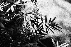 Bamboo Ink (klolam) Tags: blackandwhite film nature monochrome leaves 35mm hongkong lomography pentax analogue pentaxmesuper