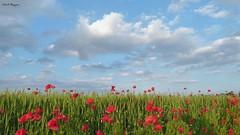 ...maturer questo grano, appassiranno questi rossi papaveri ed il vento spazzer dal cielo queste nubi primaverili (BORGHY52) Tags: italy primavera landscape nuvole piemonte cielo rosso paesaggio maggio papaveri grano nubi papavero carignano campodigrano fioridicampo provinciatorino paesaggioagreste rossopapavero carignanoto nuvolecomepensieri