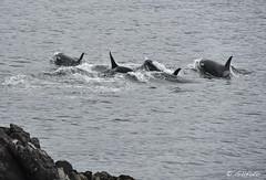 Orcas 4 4958 (Gillfoto) Tags: alaska juneau orca southeastalaska killerwhales