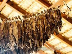Punta Cana N 3, Tobacco (Etman Parkes) Tags: vacation 50mm nikon nikkor f18 vacaciones tobacco tabaco puntacana republicadominicana d7000