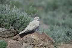 Eurasian Collared Dove (Streptopelia decaocto) DDZ_3799 (NDomer73) Tags: bird dove april sheldon collareddove eurasiancollareddove 2016 sheldonnationalwildliferefuge sheldonnwr 28april2016