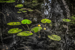 Water-Lilies (desouto) Tags: flowers green nature daisies pond rocks