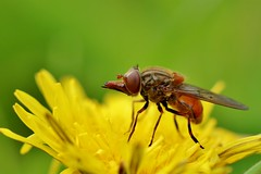 funny little insect............hoverfly (Suzie Noble) Tags: garden insect fly dandelion strathglass struy