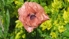 Pretty In Pink (Katie_Russell) Tags: pink flowers ireland flower green petals petal poppy poppies northernireland ni ulster nireland norniron coleraine countylondonderry countyderry coderry colondonderry colderry countylderry