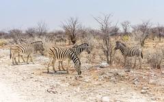 DSC00308-20150923 (C&P_Pics) Tags: na namibia burchellszebra etoshanationalpark oshikoto namutonicamptohalalicamp
