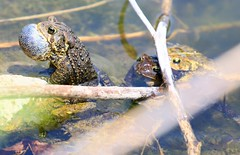 American toads breeding at Decorah Fish Hatchery 854A7038 (lreis_naturalist) Tags: county fish toads reis iowa american larry mating decorah hatchery winneshiek