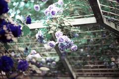 film (La fille renne) Tags: flowers roses film nature analog 35mm lomography bokeh turquoise canonae1program 50mmf18 lomochrome lafillerenne lomochrometurquoise lomochrometurquoisexr100400