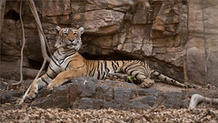Tigress Lightening on the Rocks (Raymond J Barlow) Tags: tiger wildlife india phototours adventure animal travel adventures raymondbarlow ontario