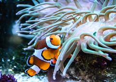 Clown Anemonefish (Amphiprion percula) (Seventh Heaven Photography) Tags: fish water aquarium underwater nemo clown anemone anemonefish percula amphiprion amphiprionpercula