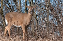 2016 White-tailed Deer 5 (DrLensCap) Tags: park winter chicago robert nature animal mammal illinois village north center il deer whitetailed