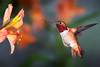 Big Al (Patricia Ware) Tags: california canon iso200 backyard tripod birdsinflight f22 manhattanbeach alstroemeria allenshummingbird selasphorussasin multipleflash specanimal 1125sec ef500mmf4lisusm httppwarezenfoliocom ©2016patriciawareallrightsreserved
