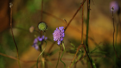 No loner (flowerikka) Tags: flowers green germany landscape weed gras wildflower loner violett
