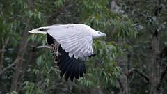 _4SJ8377-r5 (4mpx) Tags: sydney seaeagle australianbird brokenbay nikond4s tamron150600mm