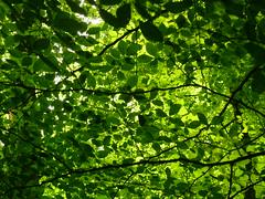 Buchen-Bltterdach (Jrg Paul Kaspari) Tags: juni eifel daun wanderung buche 2016 buchen bltterdach vulkaneifel frhsommer diemaarseetour