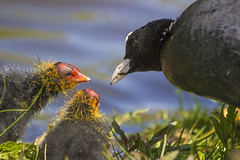 Nokikana / coot with chicks (jaakkojohannes) Tags: bird birds chick chicks coot babyanimal