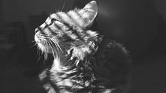 Juniper In The Light (AAcerbo) Tags: light portrait blackandwhite bw sunlight contrast cat feline pattern bright profile longhair kitty mainecoon juniper