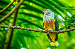 Rare Colorful Asian Pigeon (Md Waheed Photography) Tags: pigeon colorful bird zoo green outdoor vivid sydney australia nikon d5100 wildlife nature feather afternoon asian branch beautiful amazing wonderful pretty eyes shiny daylight bokeh bright tree rare conservation colour endangered colourful feathers dof cute 2016 trip visit encounter sunny capture interesting domestic tame hobby pet pets