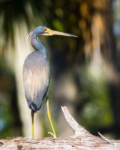 Tri-colored Heron - Potter Creek, FL