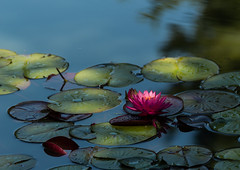 Floating gardens (Irina1010) Tags: waterlily lillypods dappled light flower water pond gibbsgardens nature canon ngc npc
