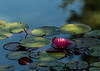 Floating gardens (Irina1010 - out) Tags: waterlily lillypods dappled light flower water pond gibbsgardens nature canon ngc npc