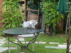 10062016N14 (starezubre) Tags: gatti giardino 2016 gattini mamme giocchi