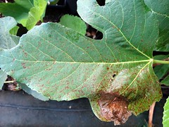 Fig rust (Scot Nelson) Tags: leaf rust fig ficus edible fici cerotelium